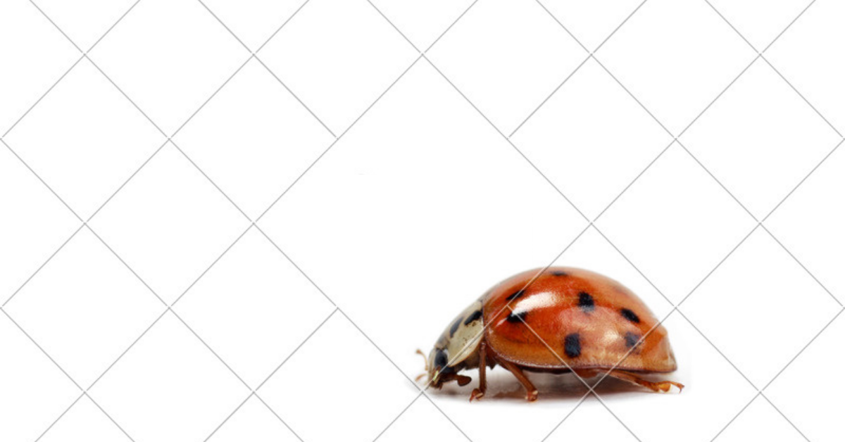 asian beetle red black spots in white background hex